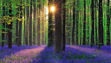 Photo of جنگلی زیبا و رویایی با گل های آبی