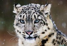 عکس شیرهای جنگلی