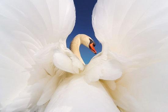 """سردسته قوها در دریاچه """"اونتاریو"""" بالهای خود را باز می کند."""