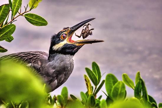 """پرنده در حال خوردن خرچنگ در جزیره """"سنیبل"""" فلوریدا."""