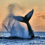 پرش بلند نهنگ