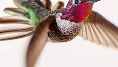 تصاویر بینظیری از مرغ مگس خوار