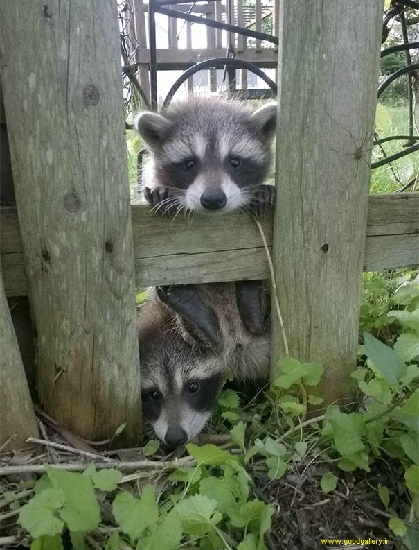 تصاویر ورود حیوانات به قلمرو انسان ها